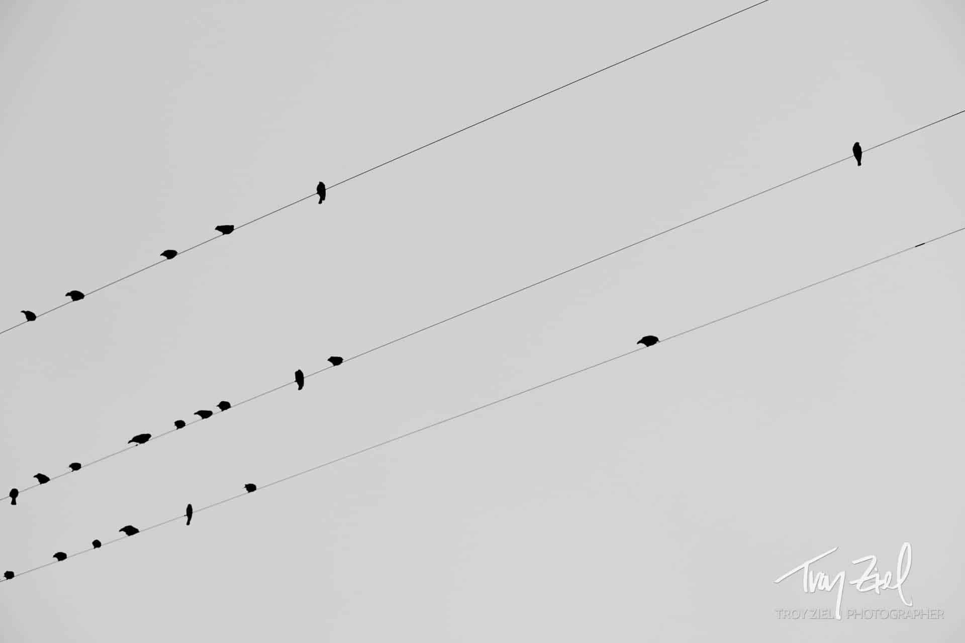 Black Birds on Wires - by Troy Ziel